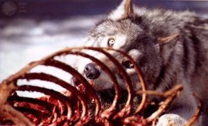 wolves eating animals 1